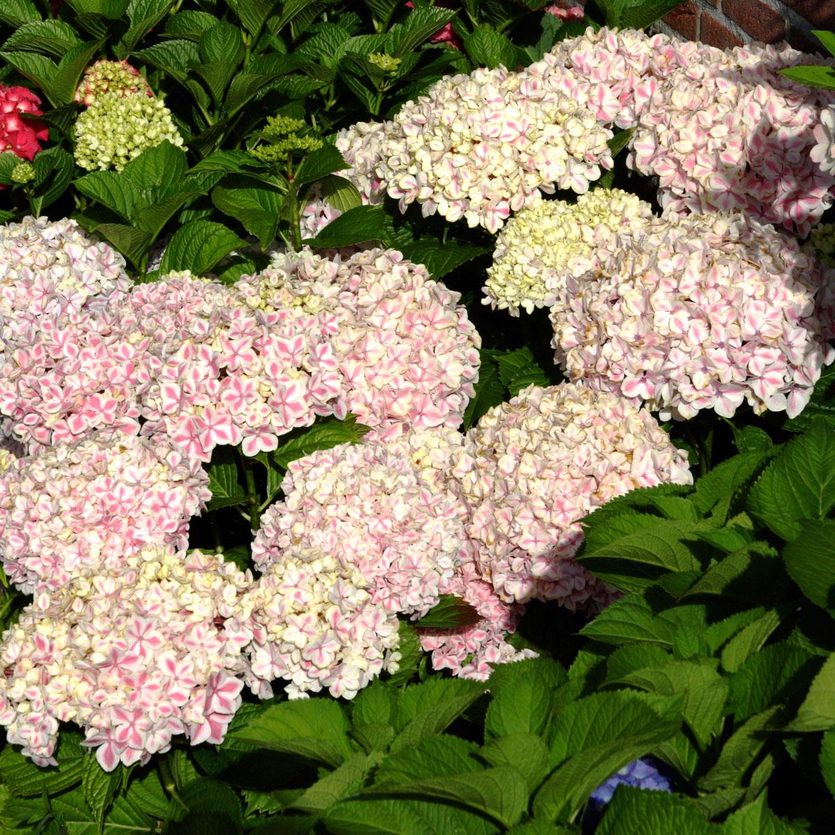 planter hortensia stunning photo hd ds le mois de juin lhortensia se garnit de fleurs quil. Black Bedroom Furniture Sets. Home Design Ideas