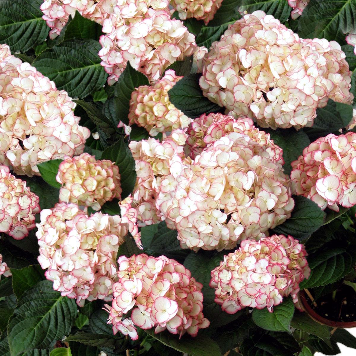 Hydrangea - macrophylla -