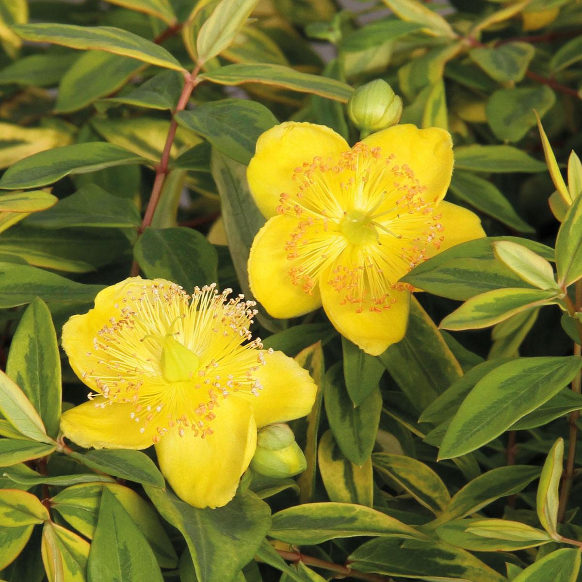 Fiori Gialli Grandi.Globeplanter Hypericum Little Misstery