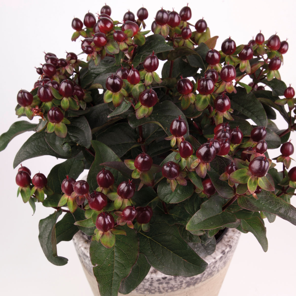 Hypericum - MIRACLE® - Night