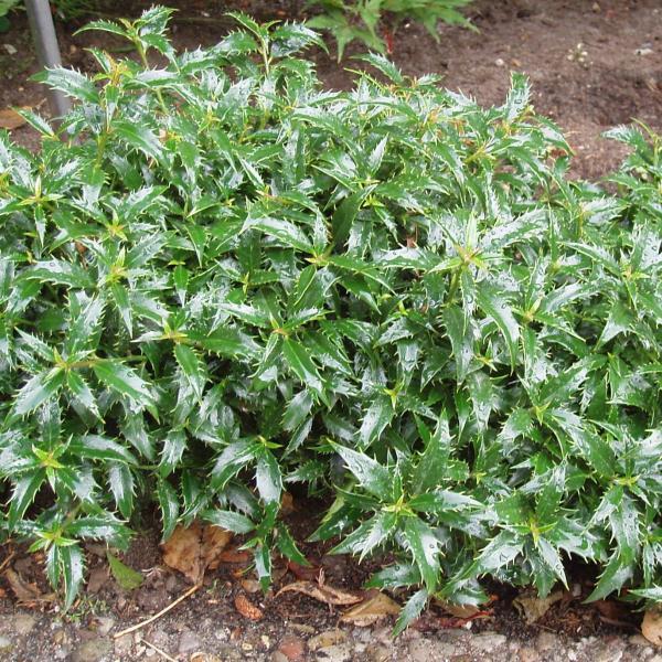Ilex - aquifolium -