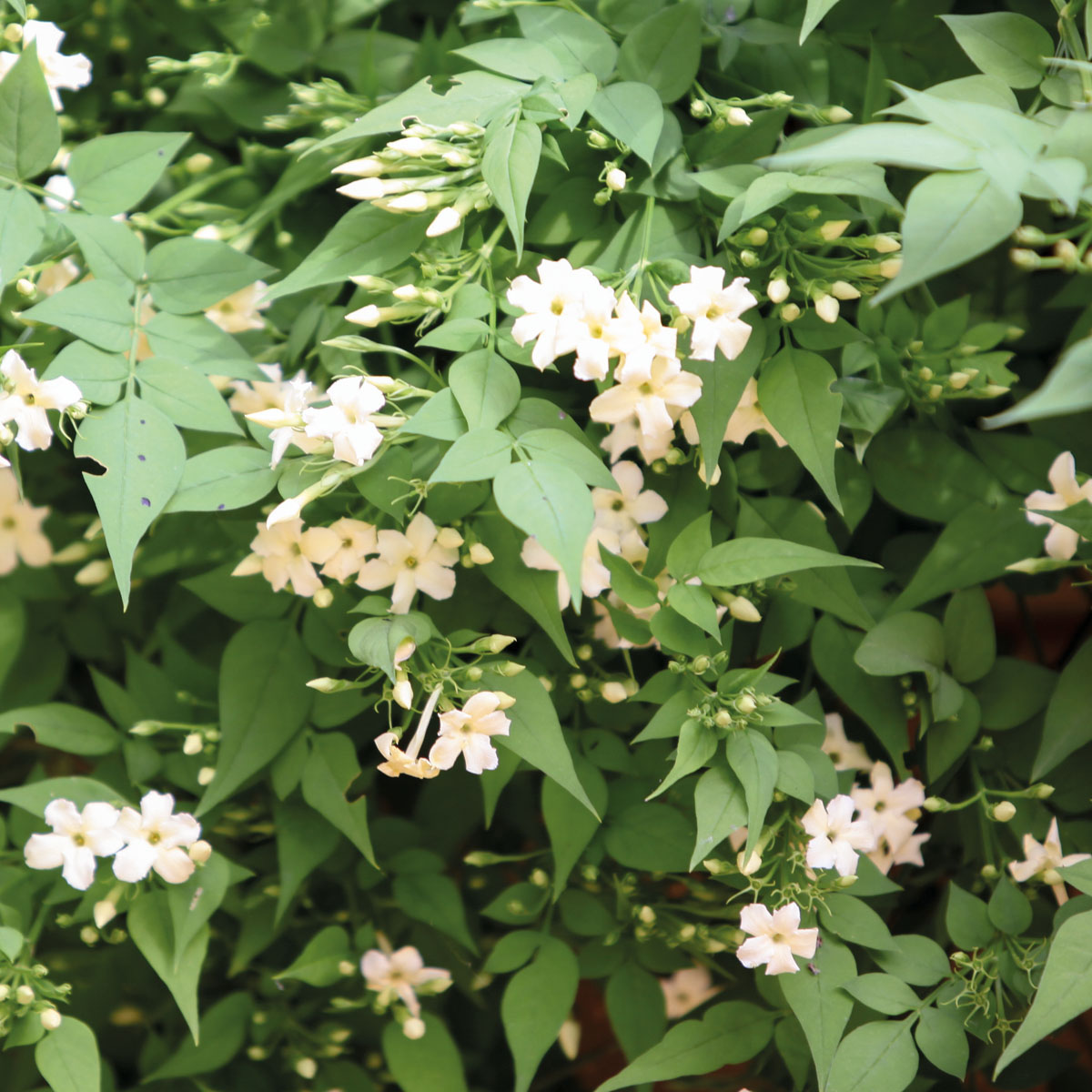 Jasminum - officinale -
