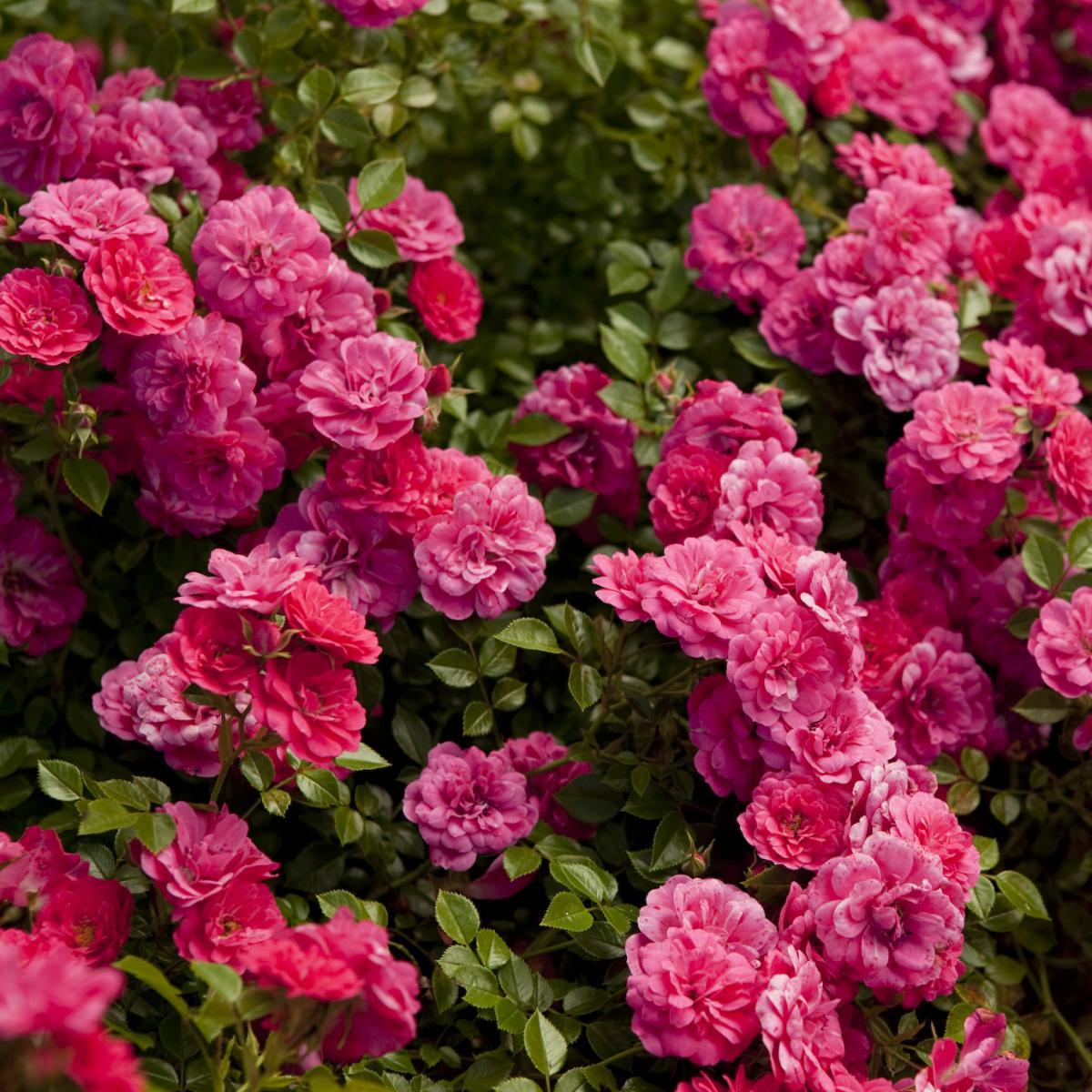 Rosa - hybride - Knirps® - Korverlandus