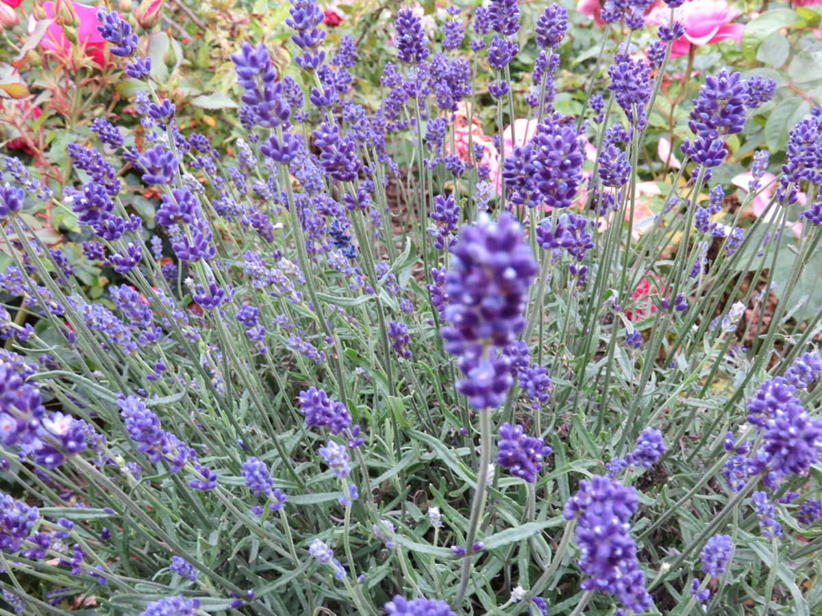 Lavandula - angustifolia -