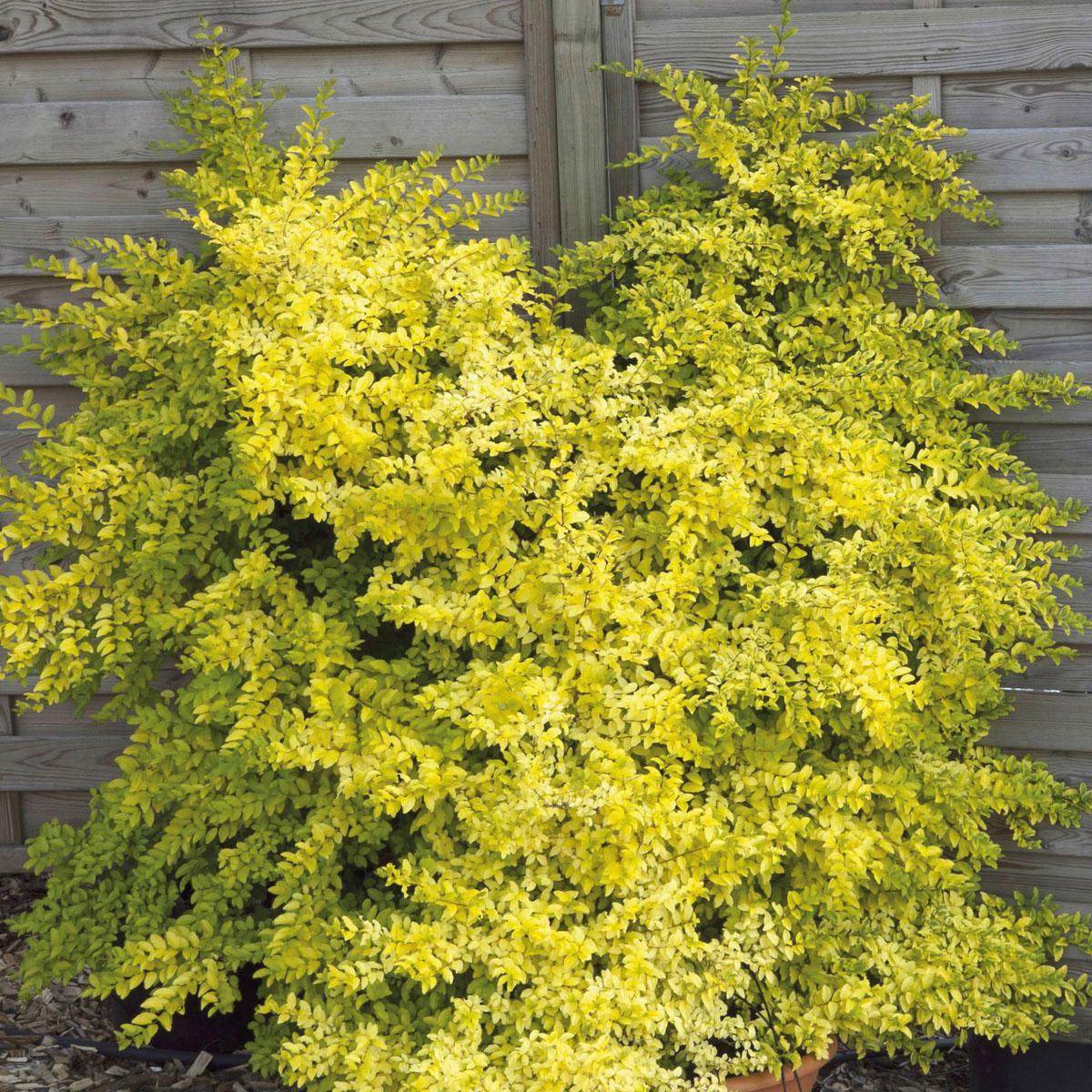 Ligustrum - sinensis - Lemon & Lime
