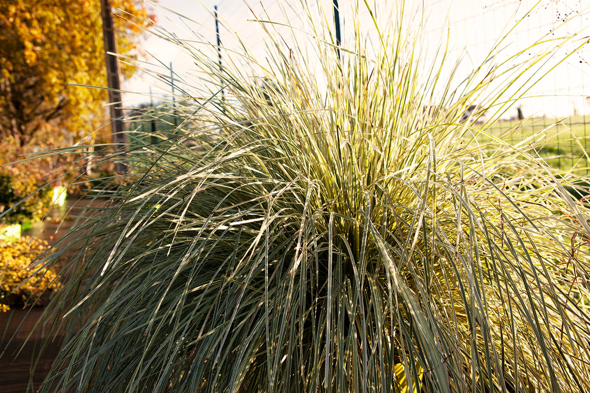 Lomandra - longifolia - White Sands