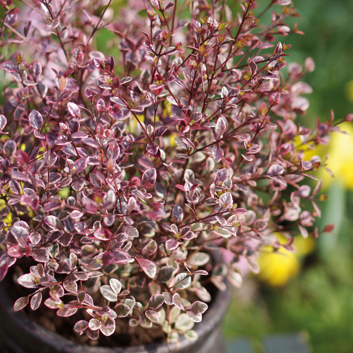 Lophomyrtus - ralphii - Magic Dragon - cov