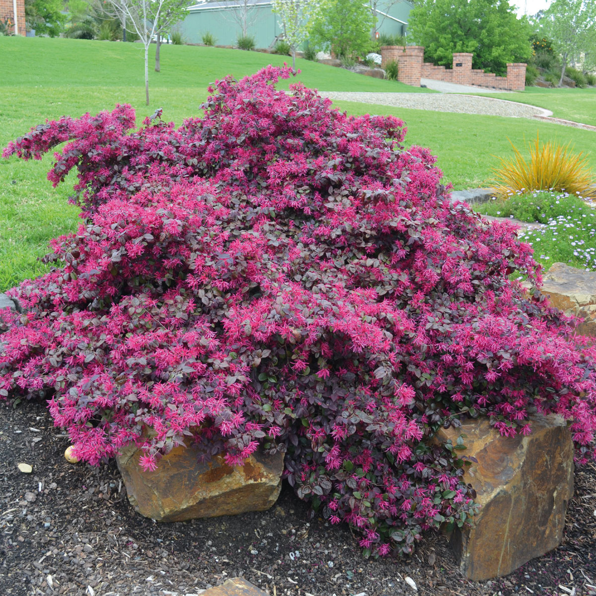 Loropetalum - chinense - Plum Gorgeous - PGAPLUGOR