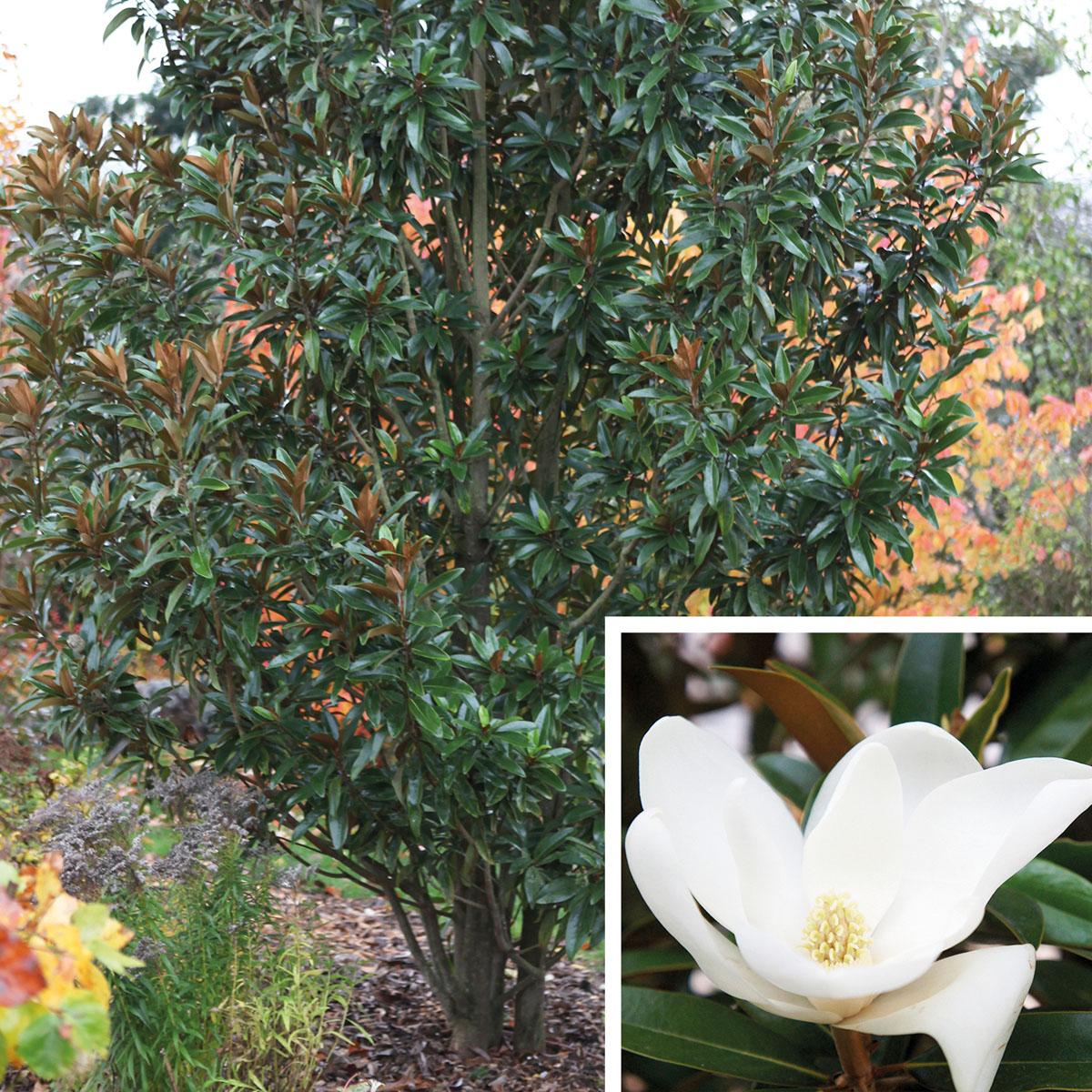 Magnolia - grandiflora -
