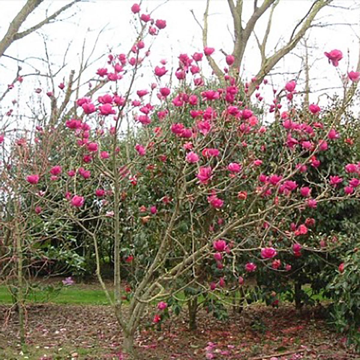 Magnolia - soulangeana -
