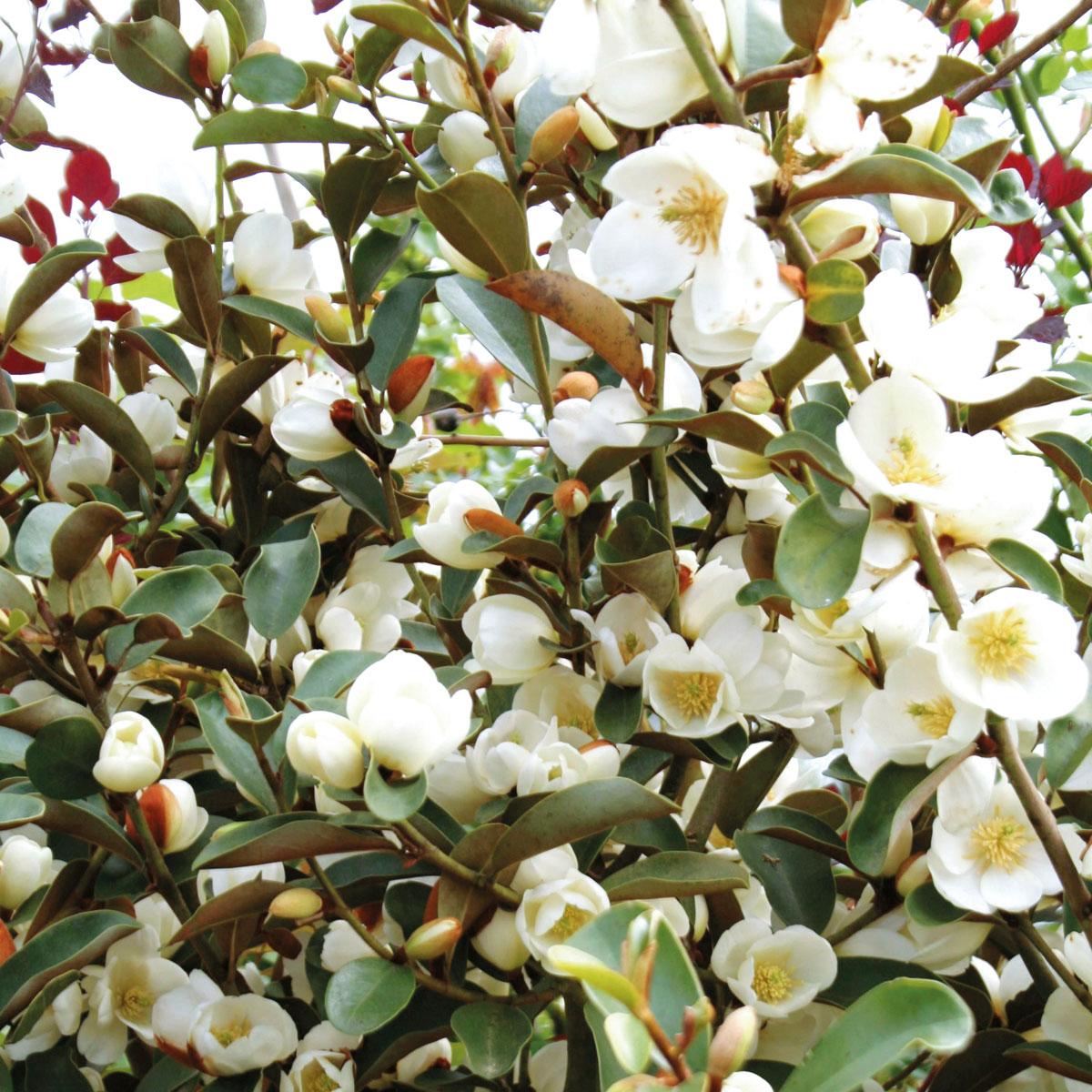 Magnolia - laevifolia -