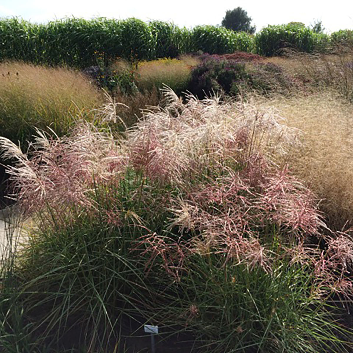 Miscanthus - sinensis - Pink Cloud - EMPMIS02