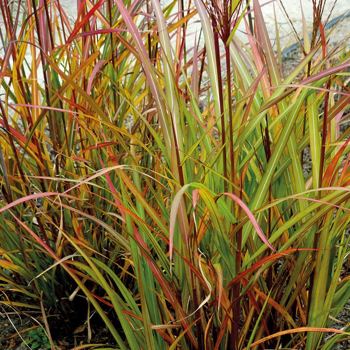 Miscanthus - sinensis -