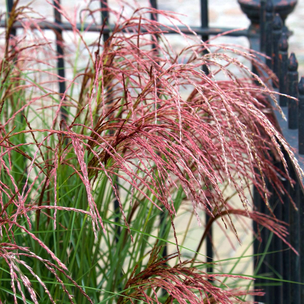 Miscanthus - sinensis - Red Cloud - EMPMIS01