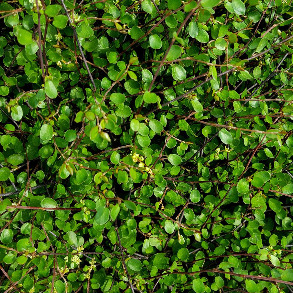 Muehlenbeckia - axillaris -