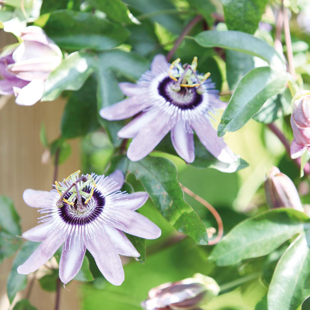 Passiflora - hybride -