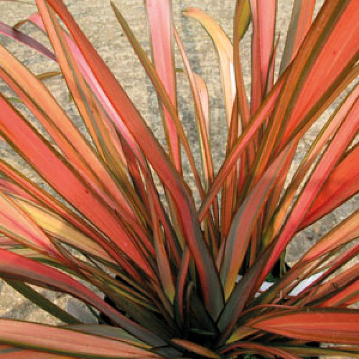 Phormium - hybride - Pink Flamingo