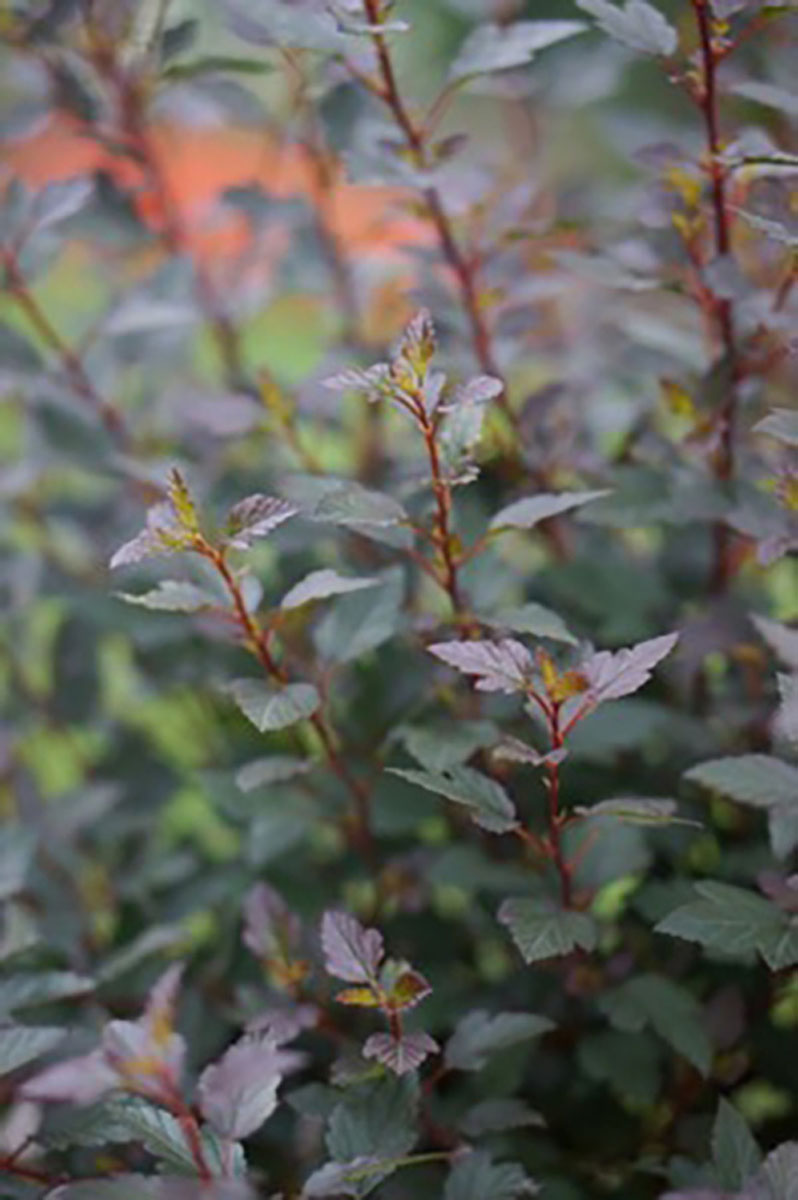 Physocarpus - opulifolius - Little Joker