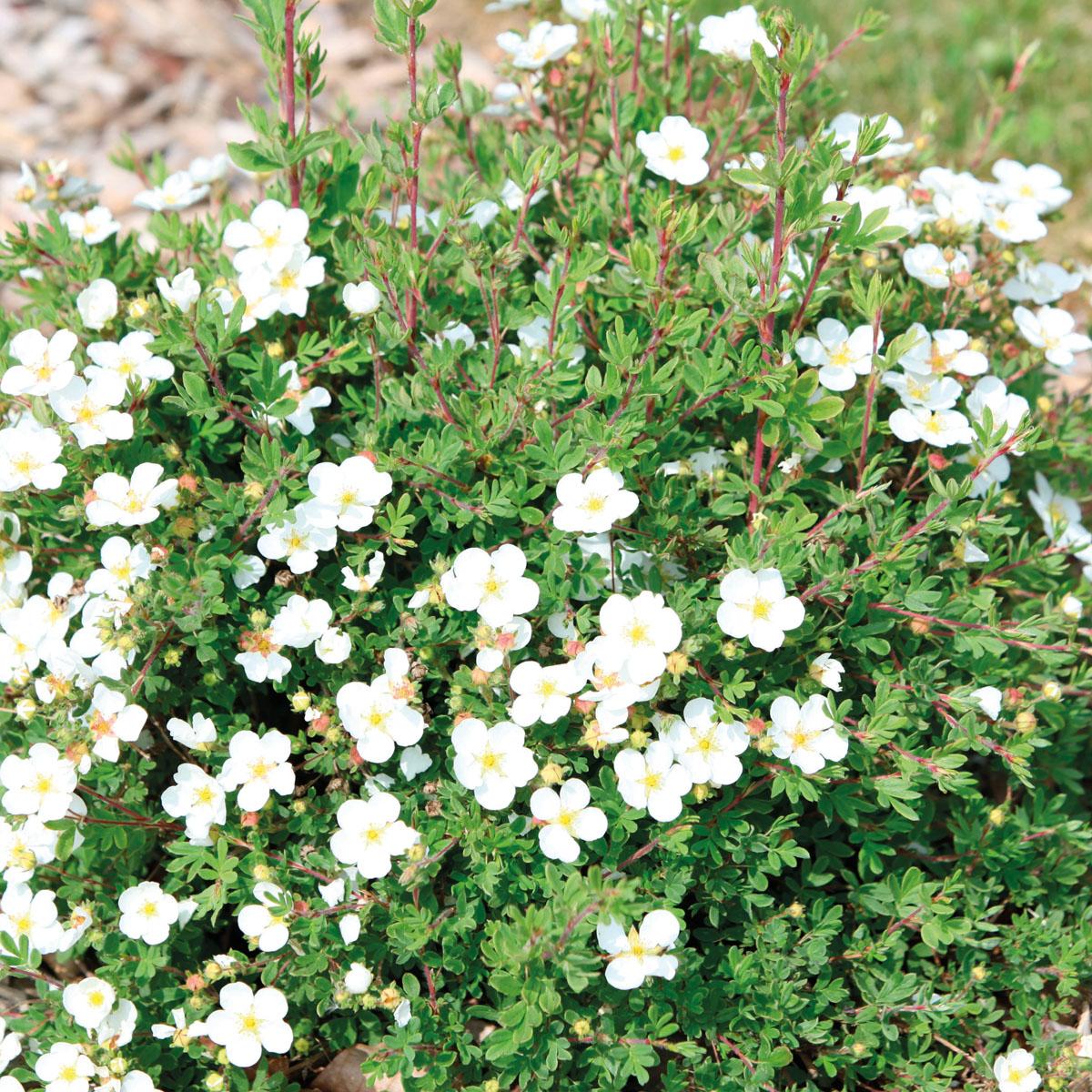 Potentilla - fruticosa - White Lady - cov