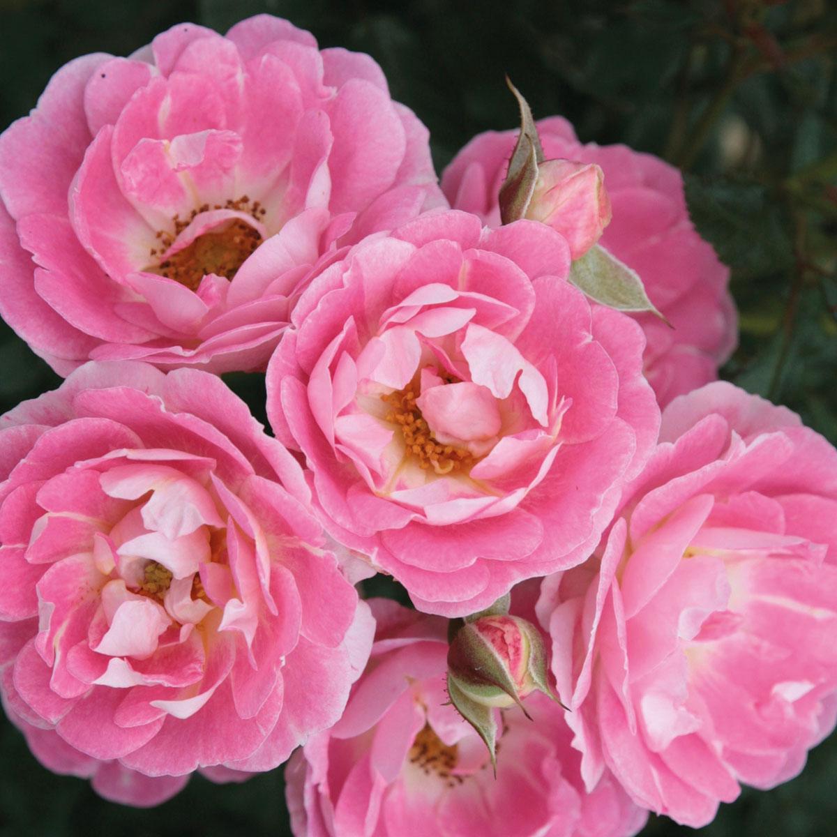 Rosa - hybride -