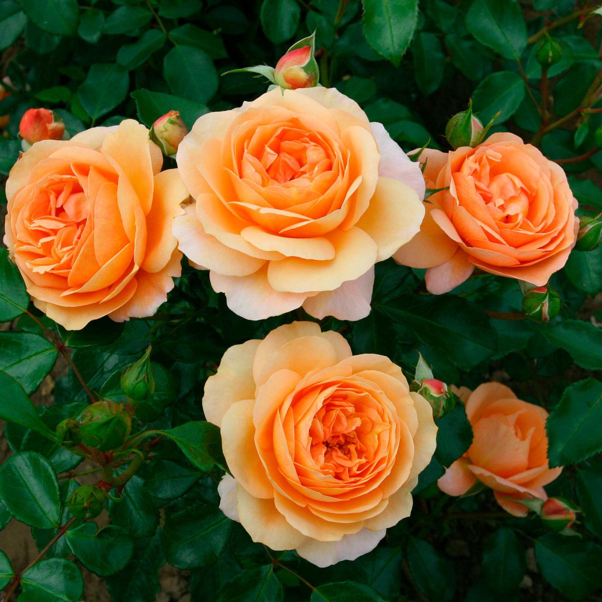 Rosa - hybride - Cervia® - Kormamtiza
