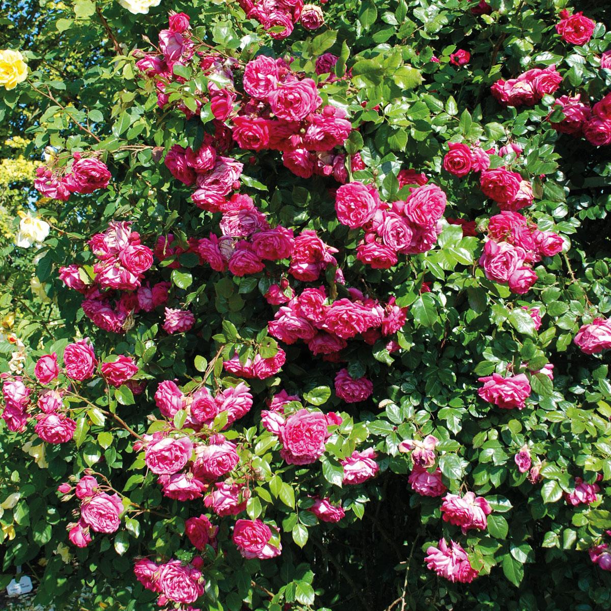La collection globe planter rosier super conquerant laguna - Planter un rosier grimpant ...
