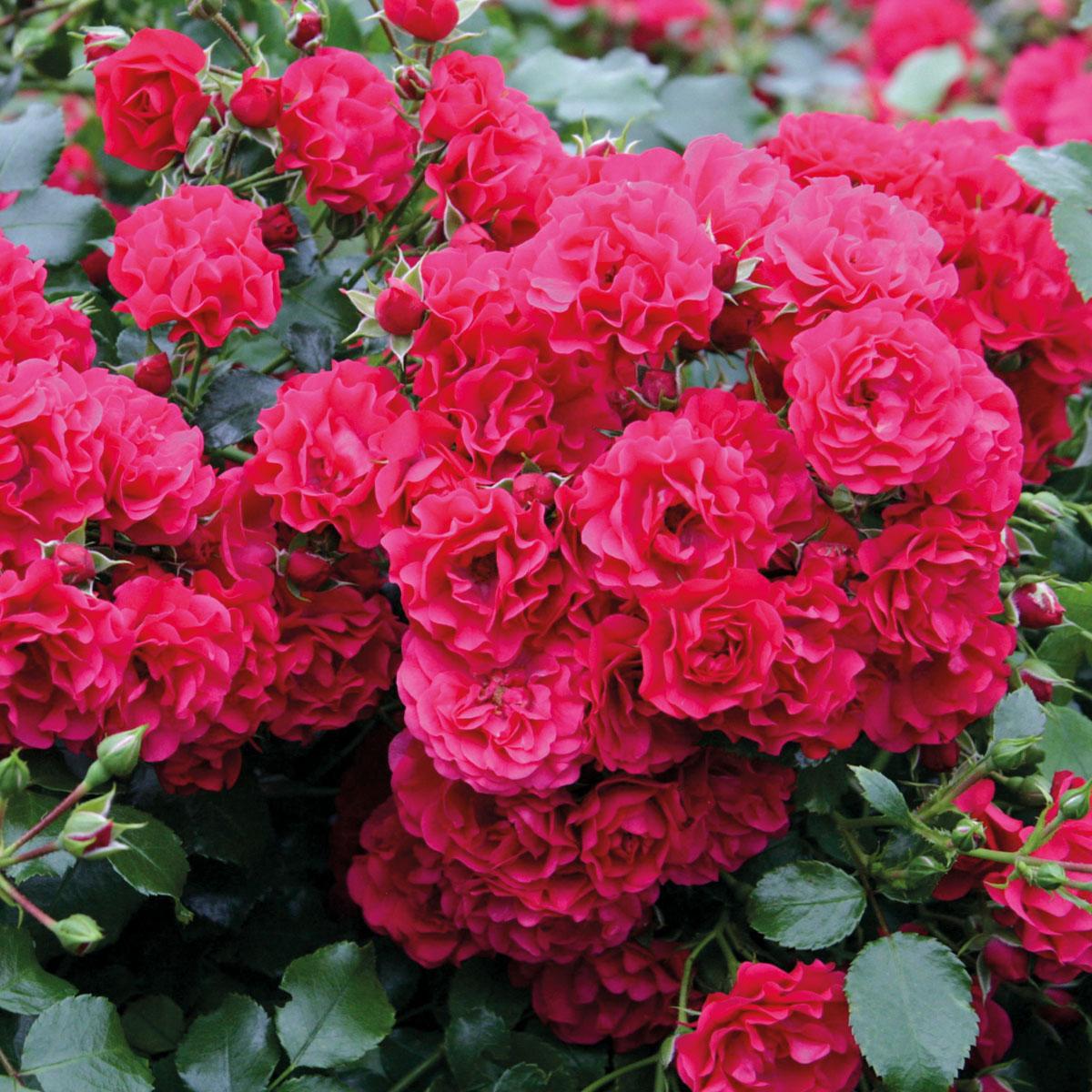Rosa - hybride - Toscana® - Korstesgli
