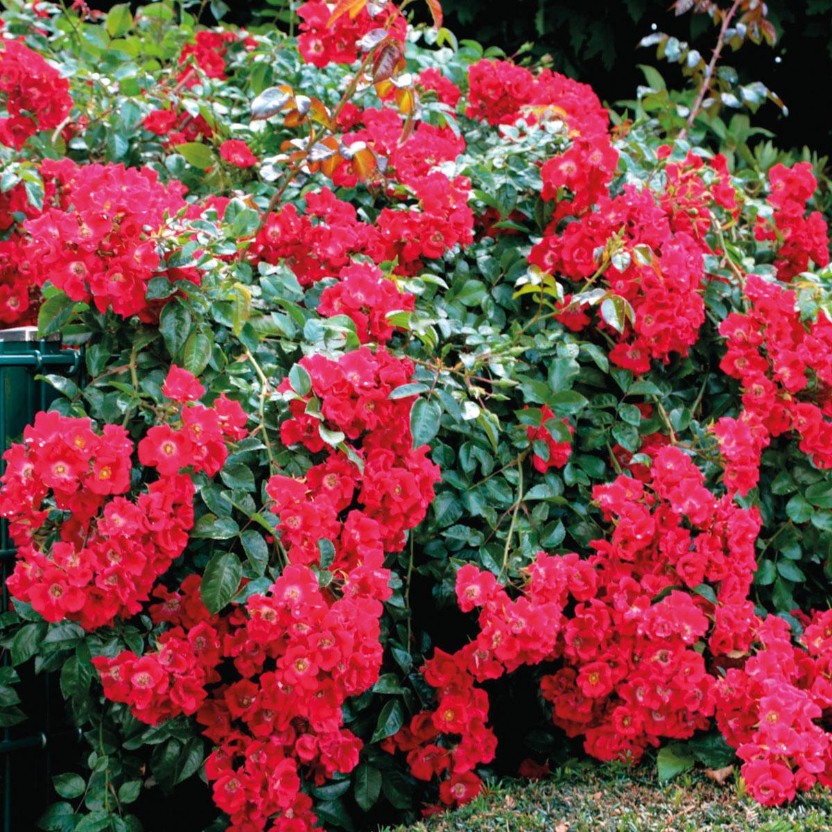 Rosa - hybride - Sommerabend® - Kormarec