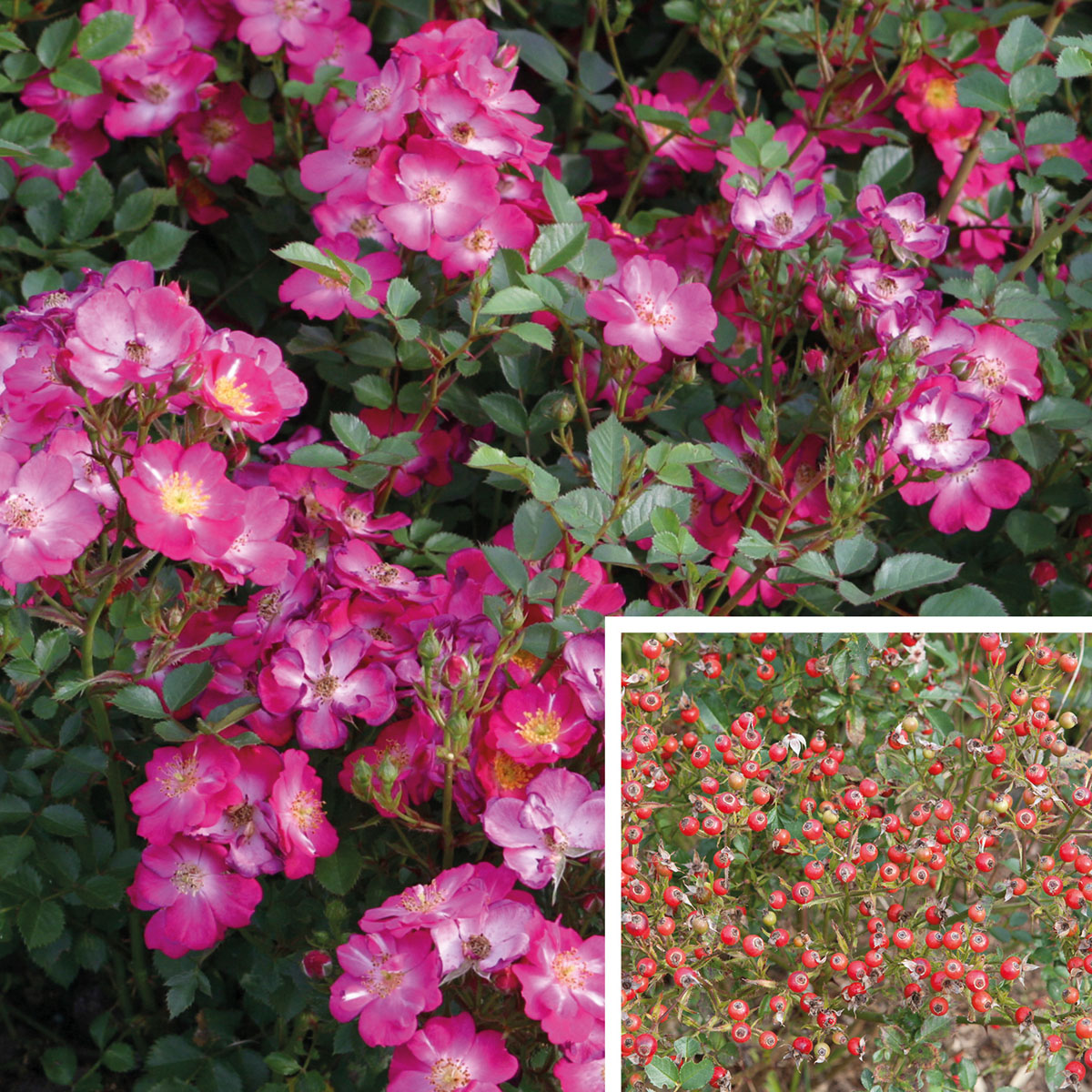 Rosa - hybride - Lupo® - Kordwarul