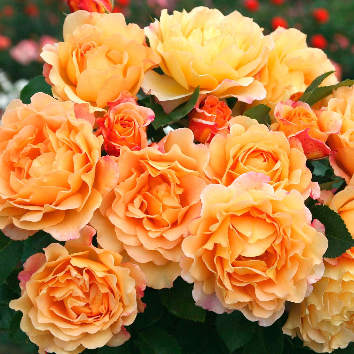 la collection globe planter rosier a buisson et isol saint adrien. Black Bedroom Furniture Sets. Home Design Ideas