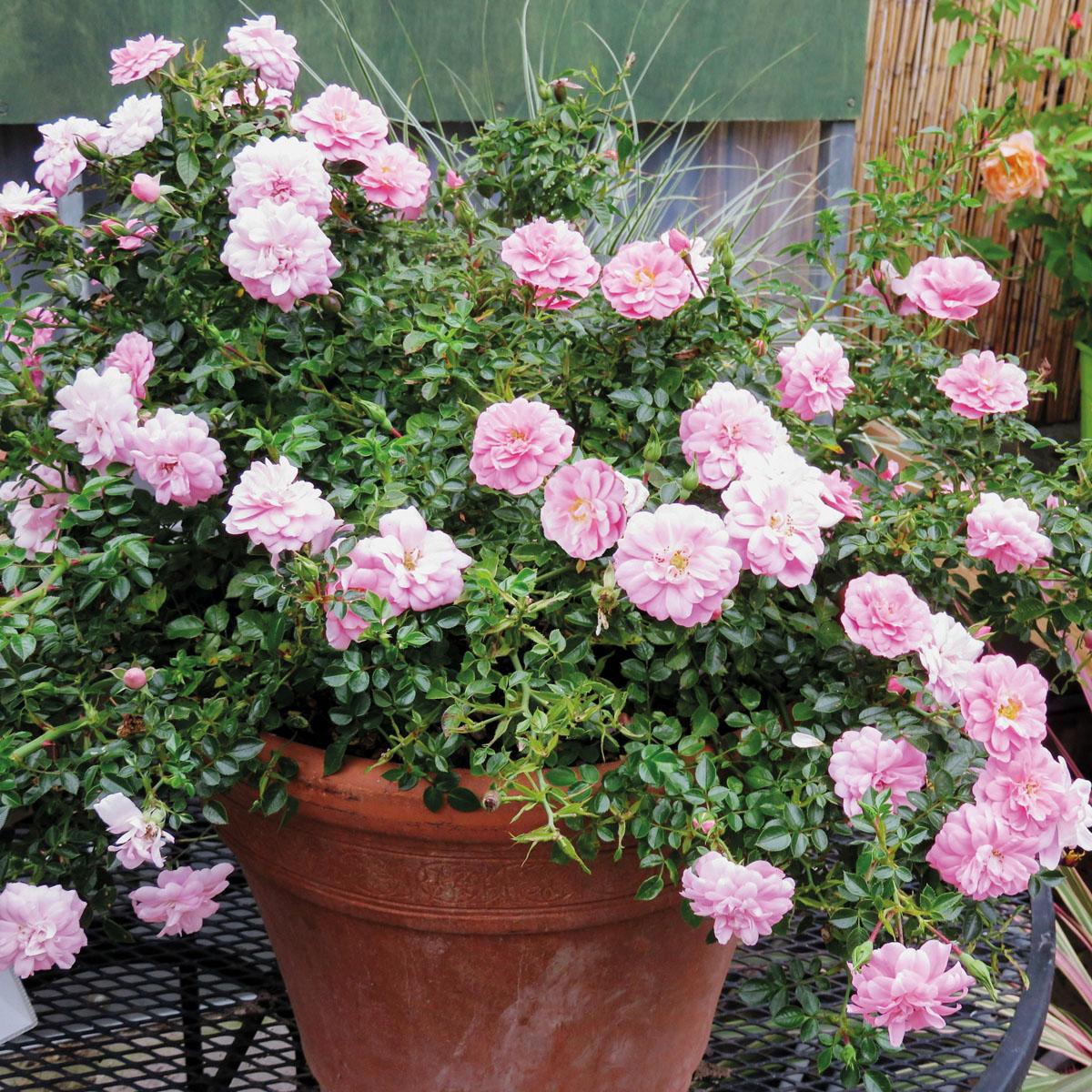 La collection globe planter rosier sans contraintes for Plante massif sans entretien