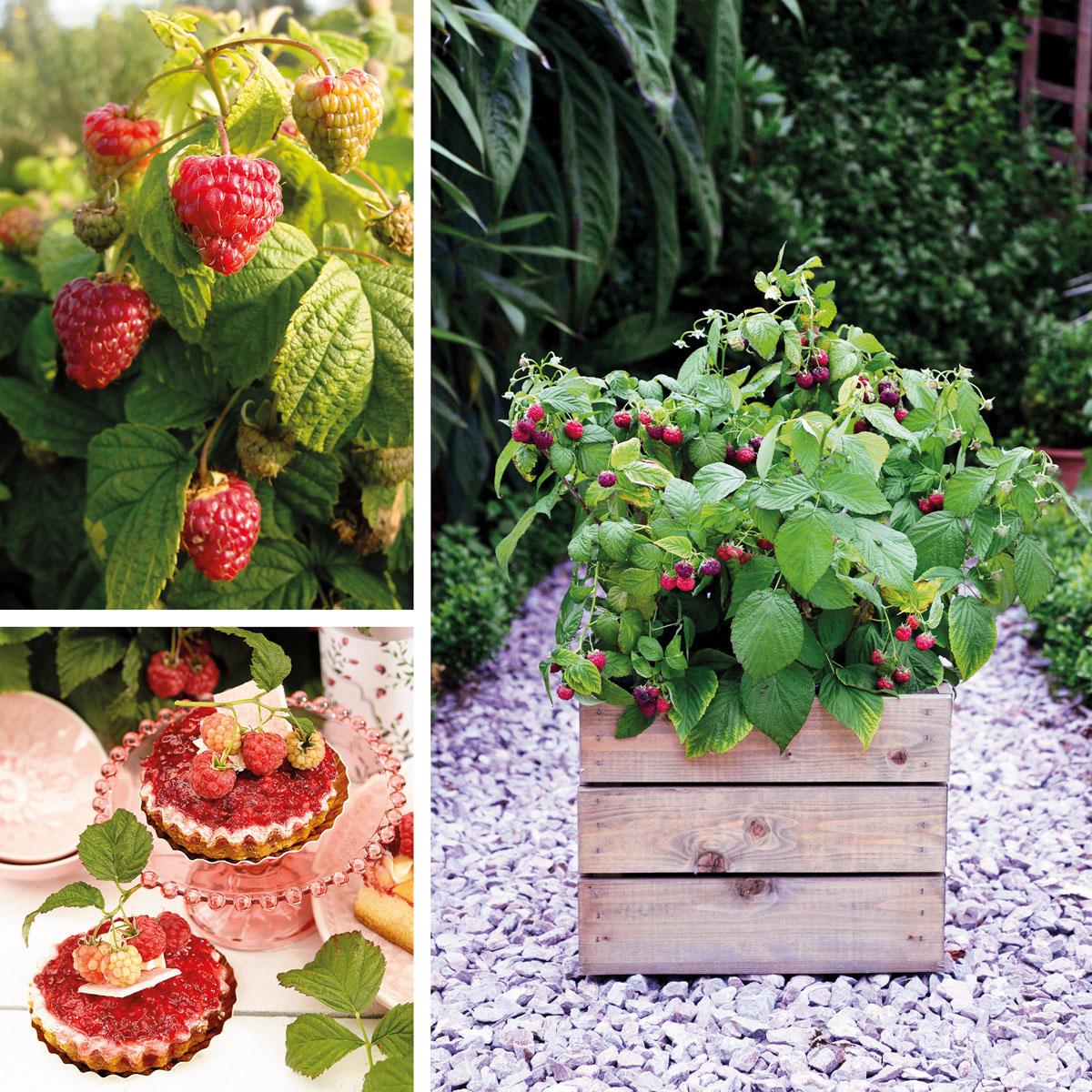 Rubus  - idaeus - Yummy - JdeBoer019