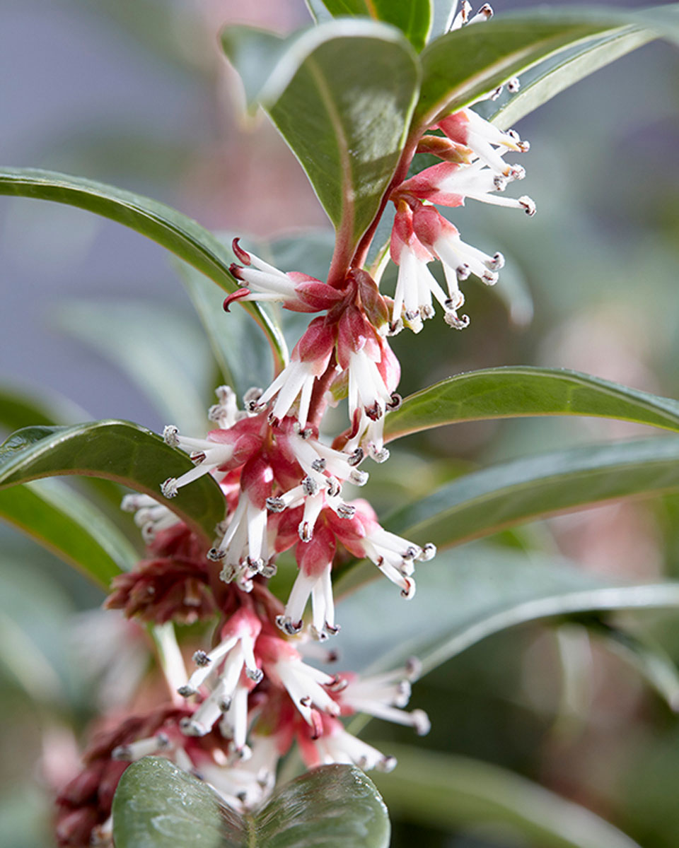 Sarcococca - hybride -