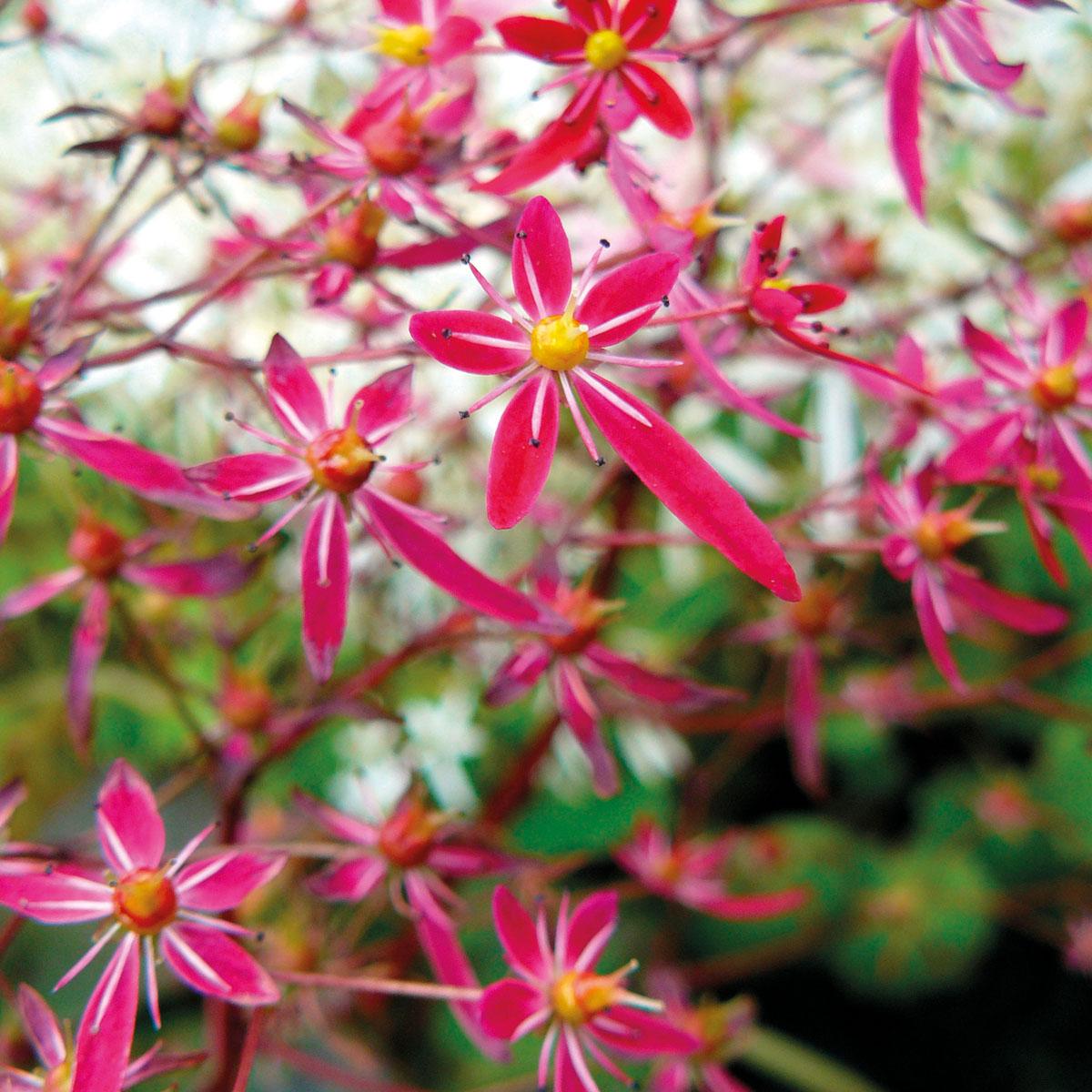 Saxifraga - hybride -