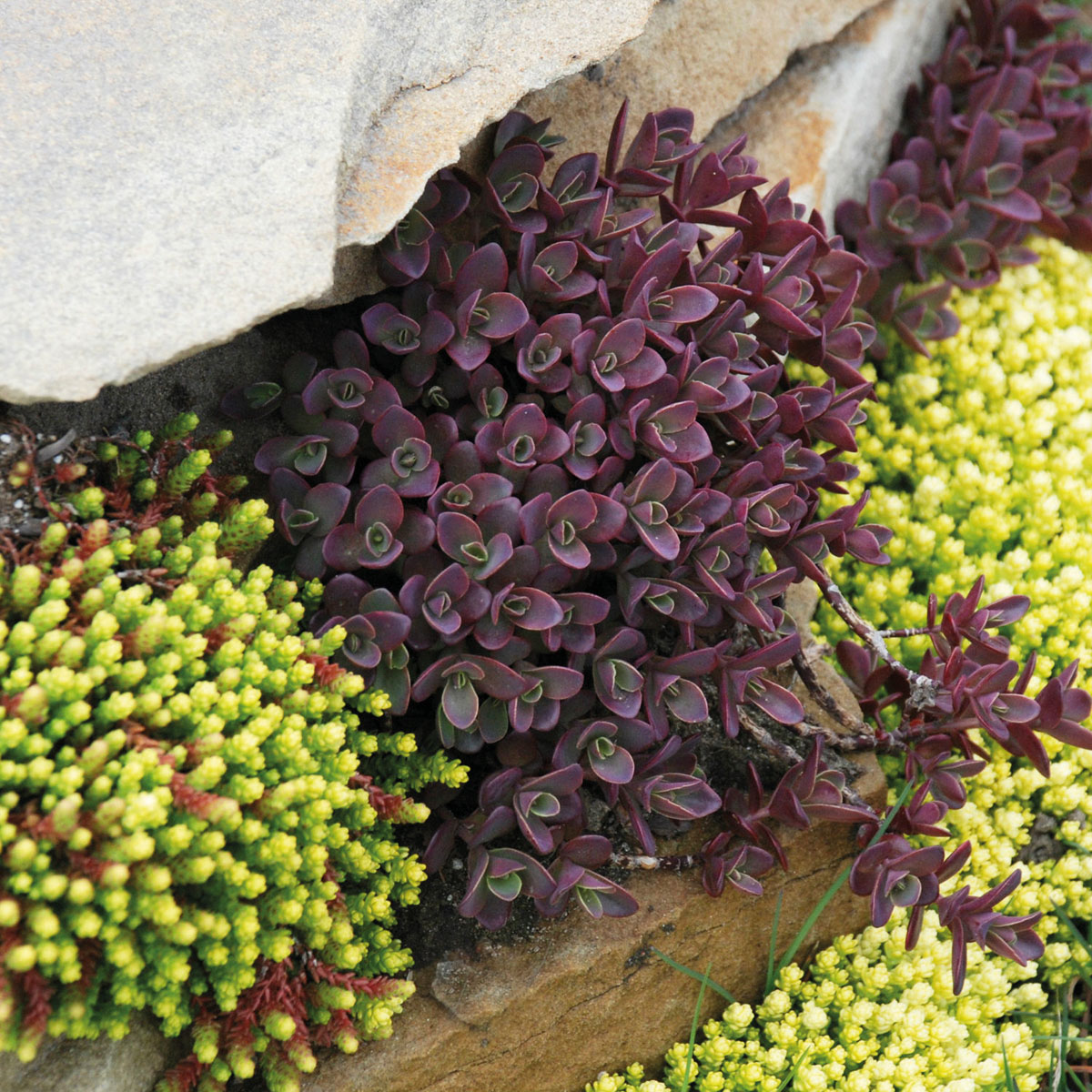 Sedum - SUNSPARKLER® - Firecracker