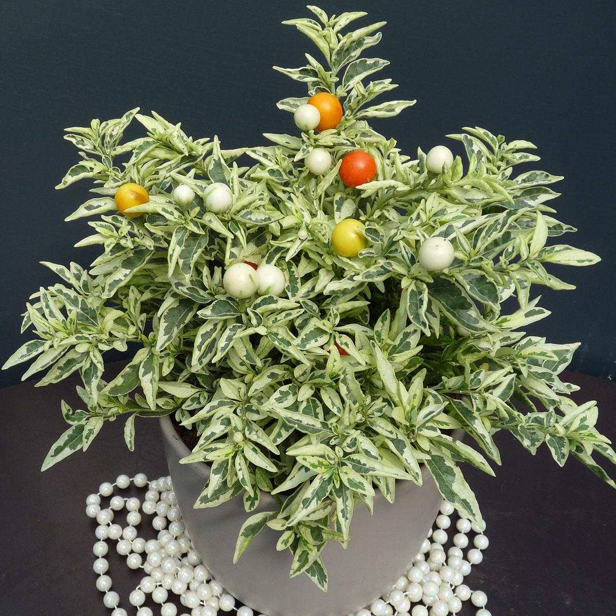 Solanum - pseudocapsicum -