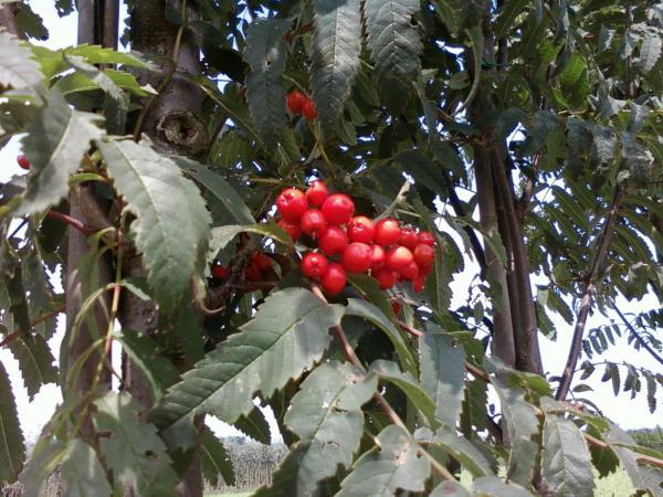Sorbus - aucuparia -