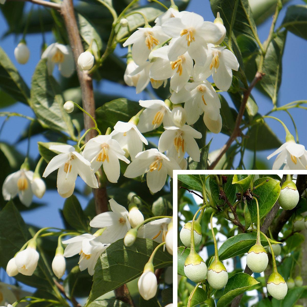 Styrax - japonicus - June Snow - Cov