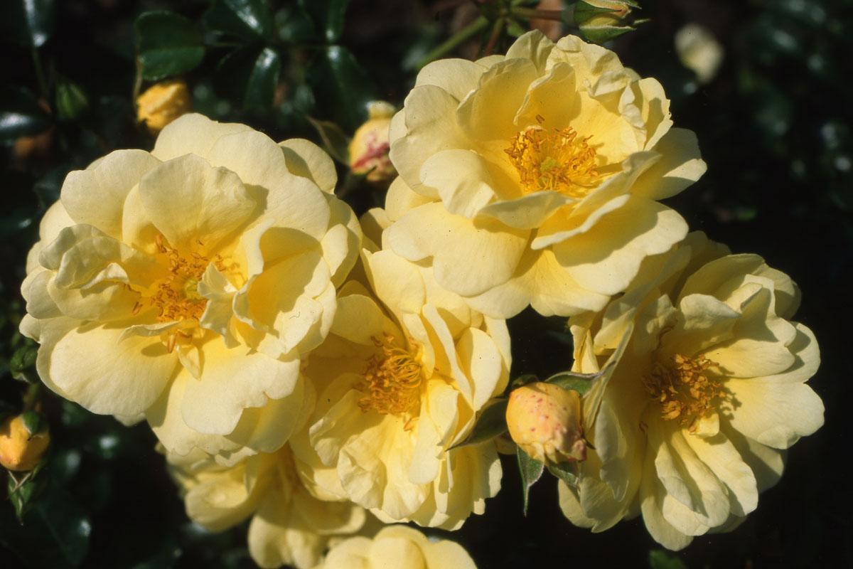 la collection globe planter rosier sans contraintes