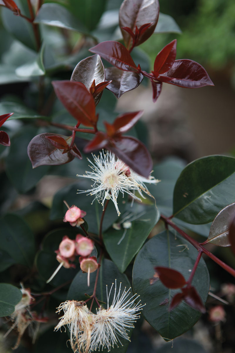 Syzygium - australe - Etna Fire