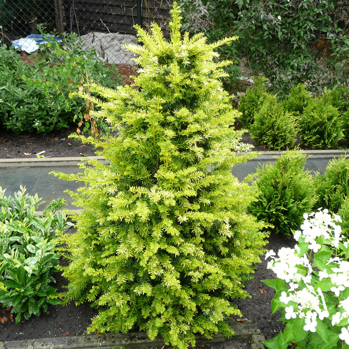 Taxus - baccata -
