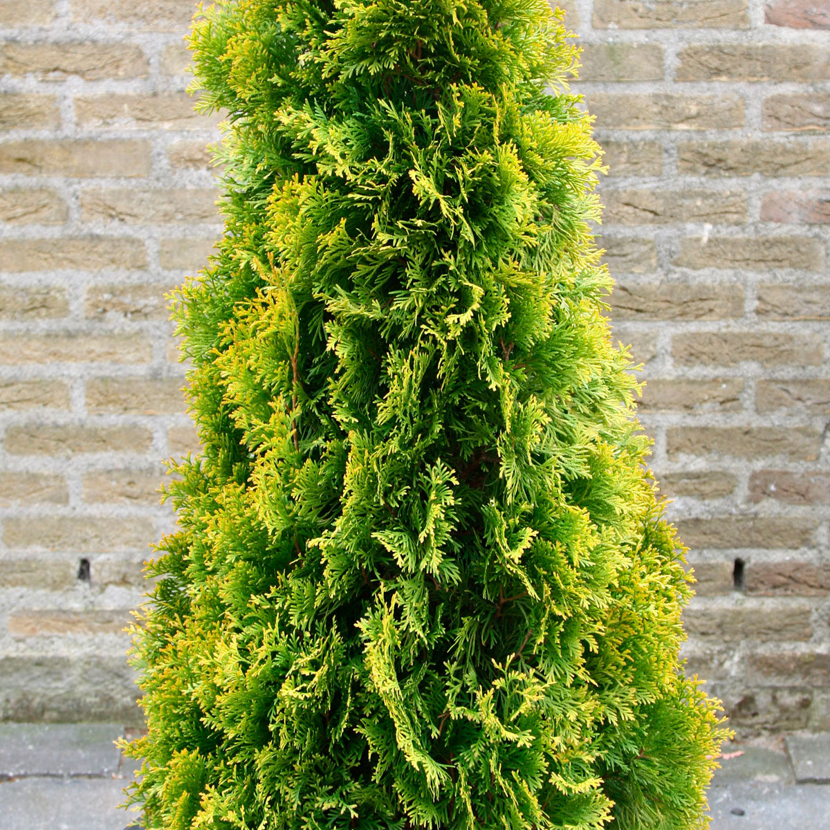 Thuja - occidentalis -