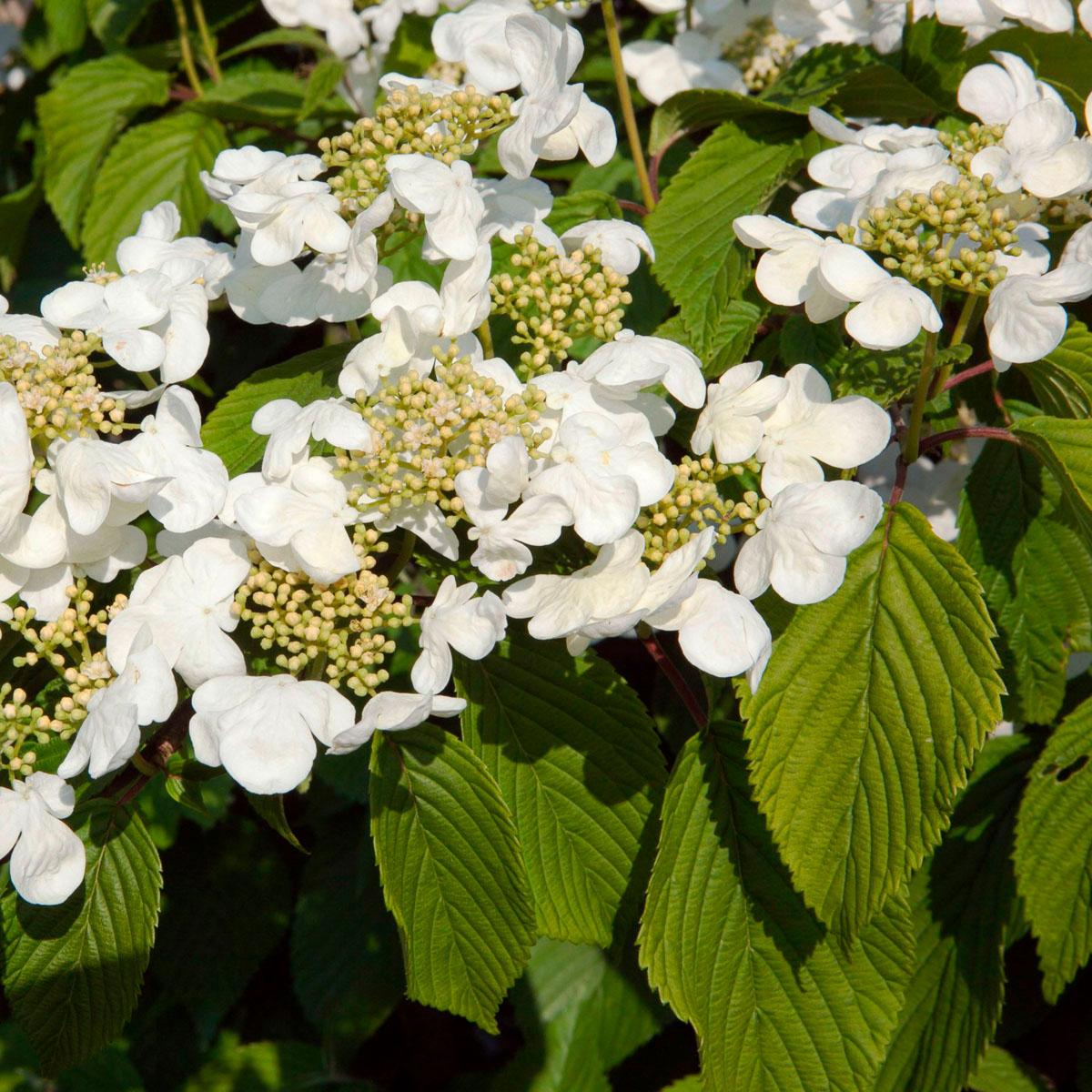Viburnum - plicatum -