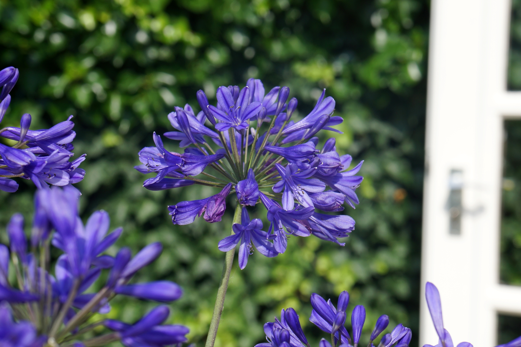 Agapanthus - hybride - Brillant Blue - Aga04051