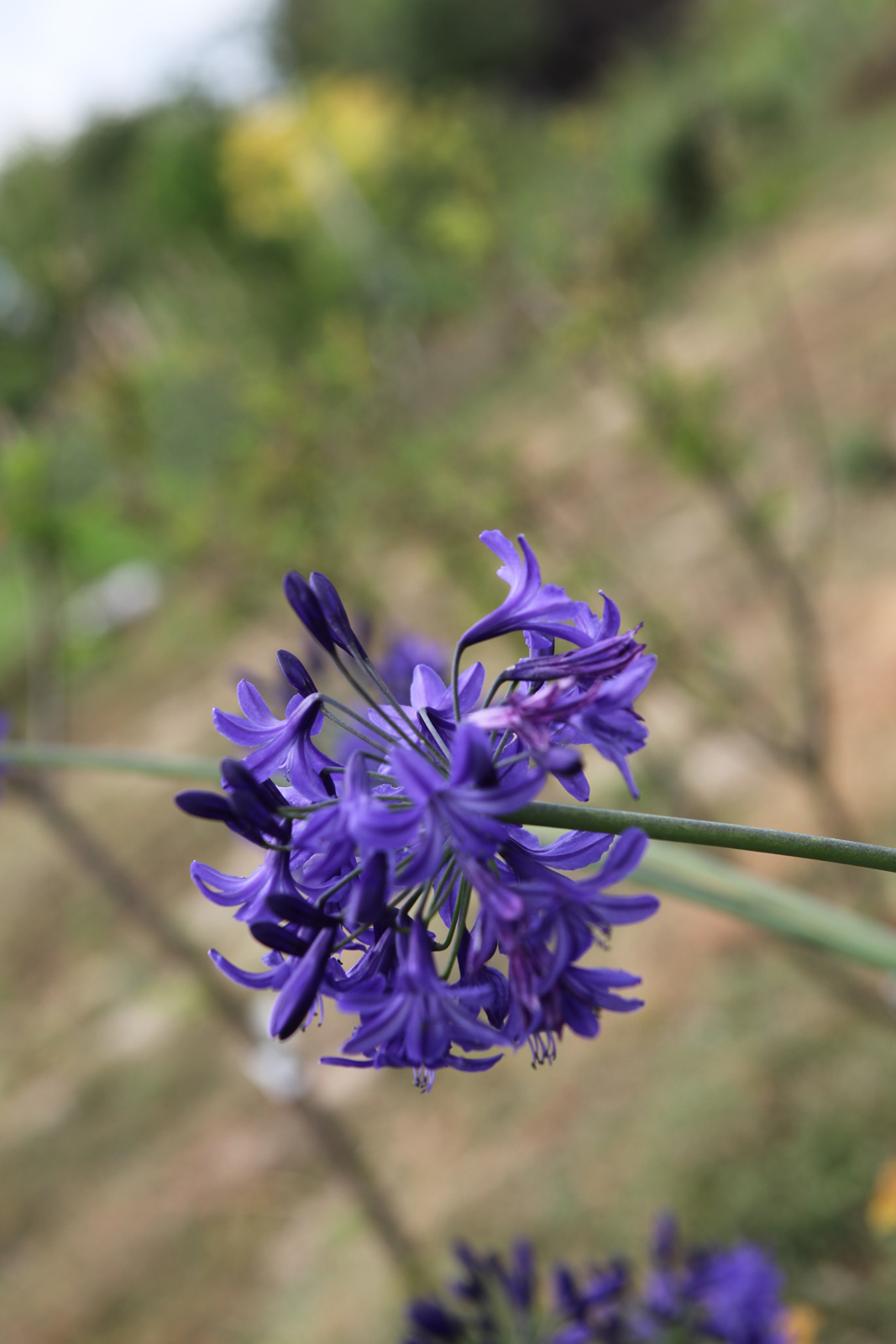Agapanthus - hybride - Northern Star - Cov
