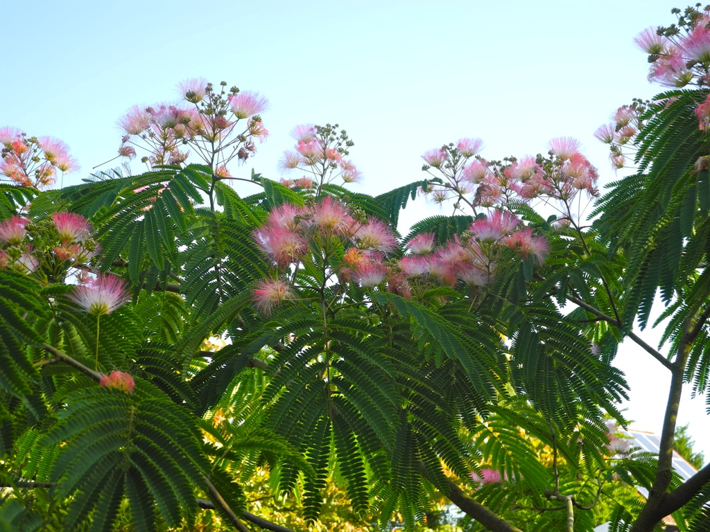 Albizia - julibrissin - Tropical Dream - Pos 1