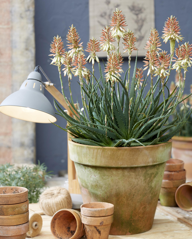 Aloe - hybride - Sunrise - X5