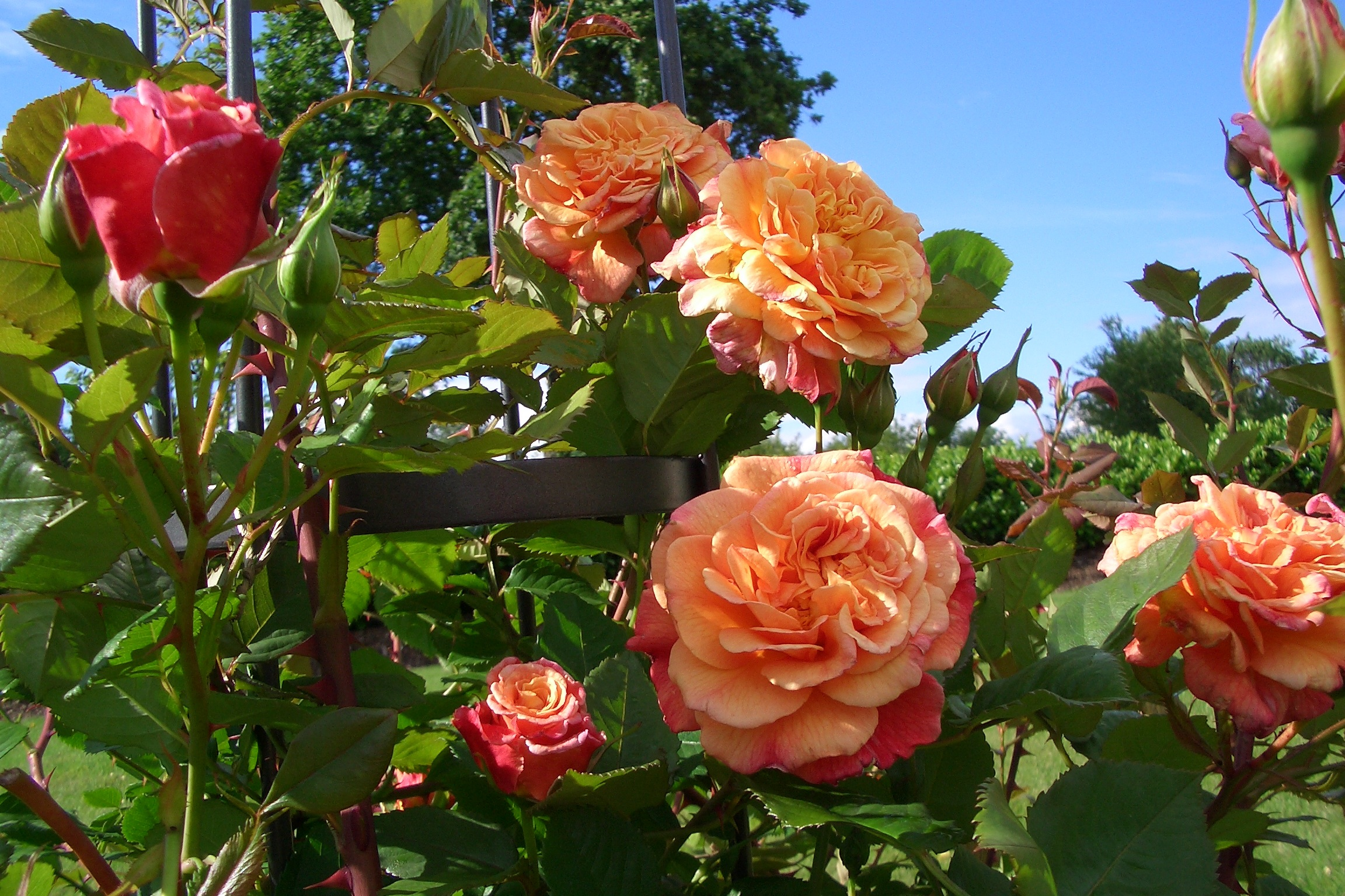 La collection globe planter rosier super conquerant kordes rose aloha - Planter des roses tremieres ...