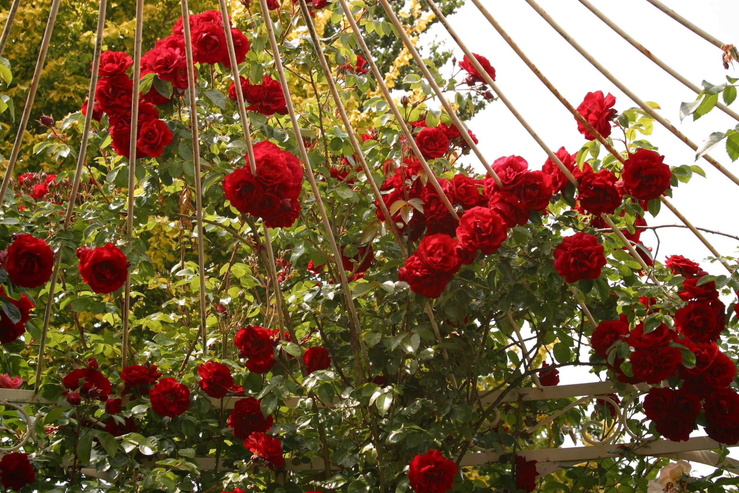 La collection globe planter rosier super conquerant for Arrosage amaryllis pendant la floraison