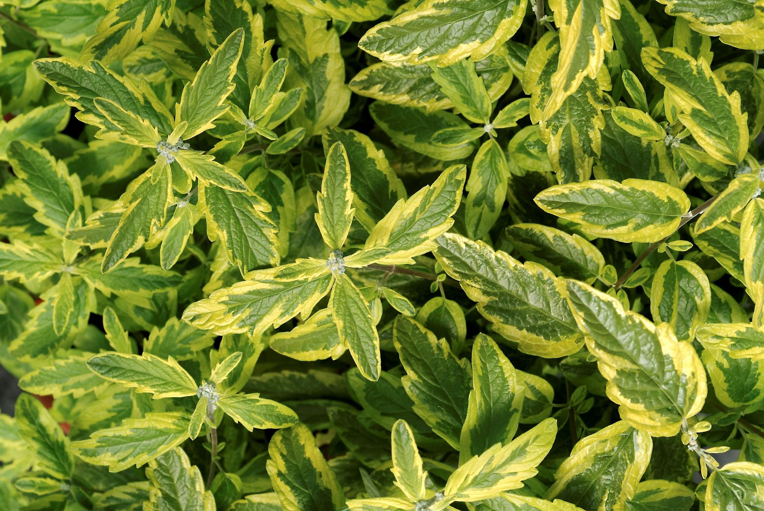 La collection globe planter barbe bleue summer sorbet for Arrosage amaryllis pendant la floraison